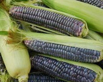 VCOP)~MINI BLUE Corn~Seeds!!~~Great For Popping!