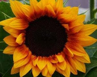 ASU)~JUA INCA Sunflower~Seeds!!!!~~~~~~Sunshine!