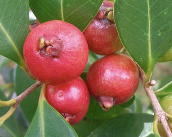 "Strawberry Guava Tree (Psidium cattleianum) Live Plant Ships in 100% Biodegradable 4"" Coconut Fiber Planter"