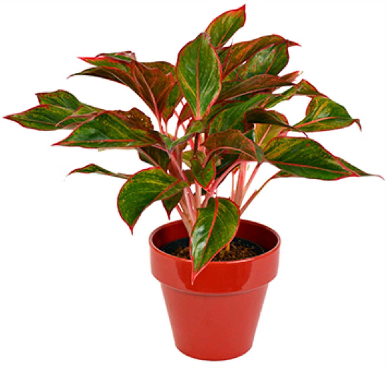 Red Aglaonema Plant Chinese Evergreen Red Variegated Leaves