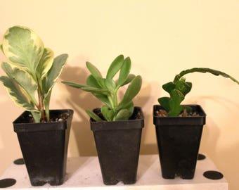 3 Plants Mix & Match Succulents - 3 houseplants, cactus or succulent plants: Jade plant, Ric Rac Cactus and Peperomia