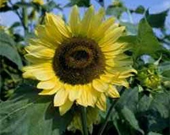 Sunflower- Lemon Queen- 100 Seeds each pack