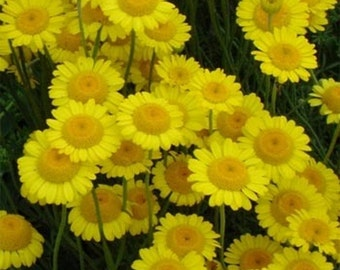 Marguerite Daisy- Yellow- (Anthemis Tinctoria Kelwayl)- 100 Seeds