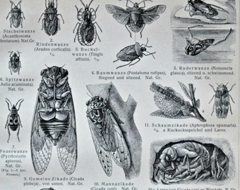 The Hemiptera  or true bugs print. Old book plate, 1904. Antique  illustration. 113 years lithograph. 9'6 x 6'2 inches.