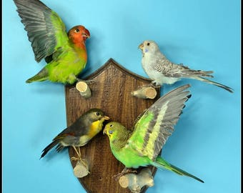 Taxidermy birds parrot Budgie  mounted on wooden base .4 birds /sets.hanging wall,cool gift D#