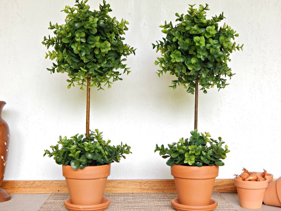 boxwood topiary trees two topiary trees topiaries small indoor trees boxwood 1773
