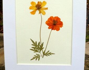 FREE SHIP  Real Pressed Flower Yellow Orange Cosmos Botanical Herbarium Specimen Art 8x10 OR 11x14