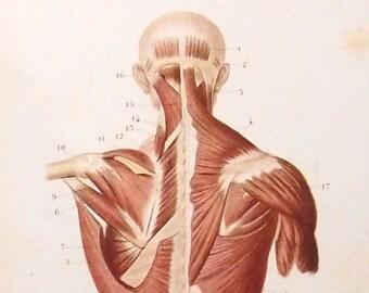 1846 ANATOMY Back Torso - hand coloured sepia anatomical engraving. Medicine. Science. Original Antique. Vintage. Over 160 years old.