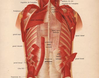 1905 back muscles, tendons & ligaments print - Human anatomy, physiology, medical wall decor - 112 yr old victorian illustration (C611)