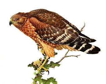 "Red-Shouldered Hawk painted by J F Landsdowne for the book Birds of the Eastern Forest:1. The page is approx. 9 1/2"" wide and 13"" tall."