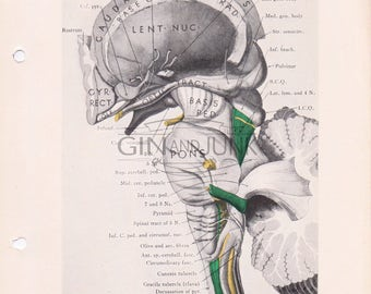 Antique illustration of the Brain stem, Human Anatomy, Human Brain, Medical Drawing
