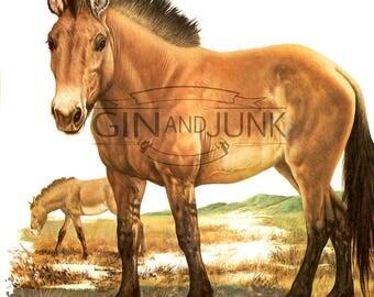 Colourful Vintage Horse Print - 1970s Przewalski's Wild Horse illustration