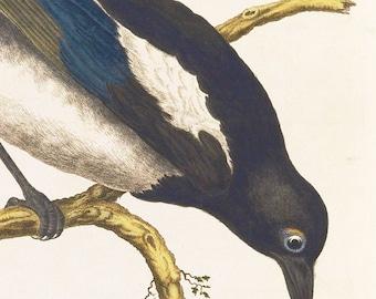 Magpie bird print art drawing poster