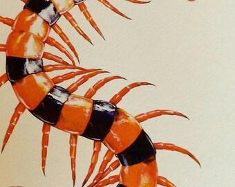 Scolopendra hardwickei - A4 size Archival Art Print