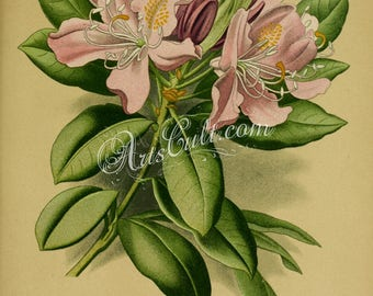 flowers-32067 - rhododendron ponticum, Common Rhododendron, Pontic Rhododendron suckering shrub pink flower with leaves vintage old picture