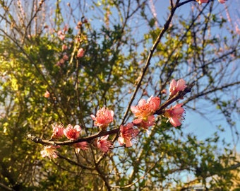 Cherry Blossom Branch, Cherry Blossom Tree, Pink Cherry Blossoms, Digital Photography, Digital Download