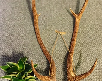 Hawaiian Axis Deer Antlers - Perfect condition and a harvested animal