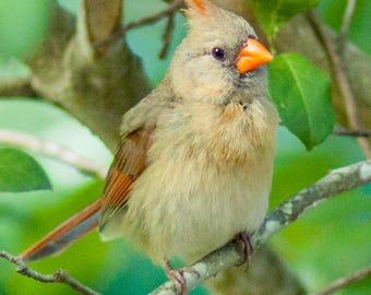 Female Cardinal Blank Note Card