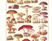 1920s Mushroom Print - Vintage Antique Art Illustration Book Plate Natural Science Great for Framing 95 Years Old