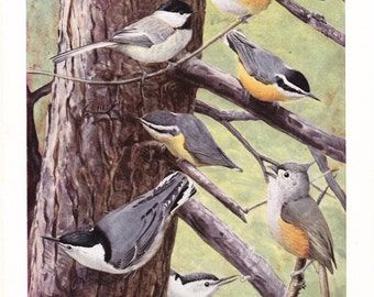 1917 Bird Print - Plate 103 - Chickadee Nuthatch Tufted Titmouse - Vintage Antique Art Illustration by Louis Agassiz Fuertes 100 Years Old