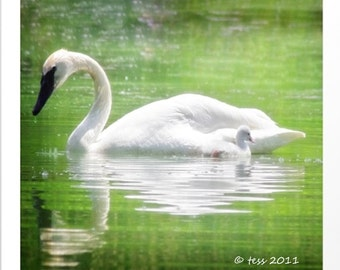 Swan Photography - White Swan Print -  Swan And Cygnet Photo - Nature Photography