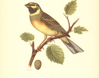 1953 Cirl Bunting - Emberiza cirlus Vintage Offset Lithograph