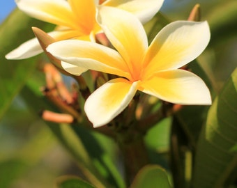 Frangipani Photo Print - Plumeria Flower Photography - Fine Art - Tropical Wall Decor - Size 8x10, 5x7, or 4x6