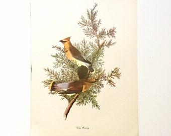 "Vintage John James Audubon Bird Print / Cedar Waxwing / Natural Science Home Decor / Art Illustration / Great for Framing / 9"" x 12"" Art"