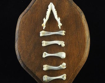 Hedgehog Jaw and Bones