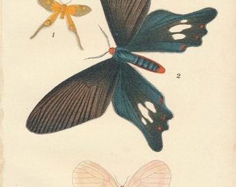 1897 Butterflies Antique Print