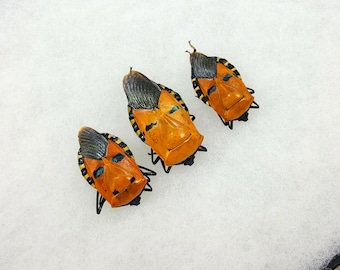 FREE SHIPPING Three Real Catacanthus Incarnatus Man-faced Stink Shield Bug A1 Quality Unique Butterfly REAL Riker Mount Unmounted Spread