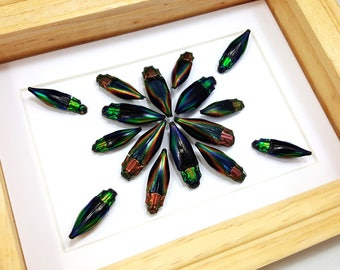 FREE SHIPPING Real Framed Rainbow Jewel Beetle Insect Art Cyphogastra Calepyga and Javanica Taxidermy High Quality