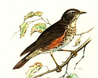 1969 Redwing, vintage Bird Print, Ornithology, nature wall art