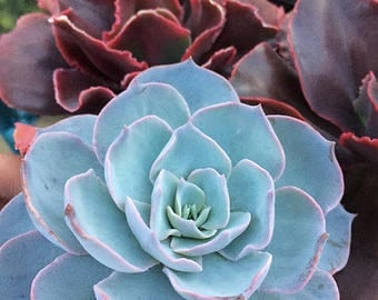 Echeveria Subsessilis/Large plant/Succulent plant/succulents/indoor plant/Succulent garden/succulent arrangement/live plants/cactus