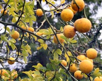 Trifoliate Orange, Poncirus trifoliata seeds