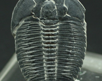 Trilobite fossil, Utah