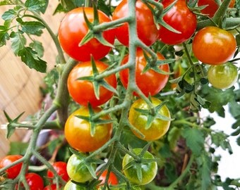 Mexican Honey Tomato, Sweet cherry tomato 10 Seeds