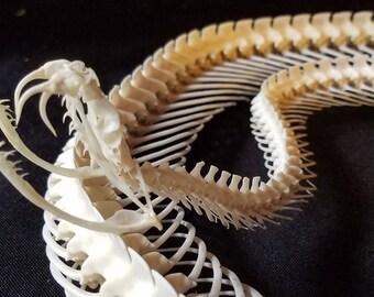 """47"""" Prairie Rattlesnake Snake Complete Skeleton Skull Fangs Venom Venomous Taxidermy"""