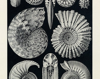 Ernst Haeckel Sea Ammonite Poster - Vintage Ocean Art Print - Vintage Ammonite Print - Museum Quality
