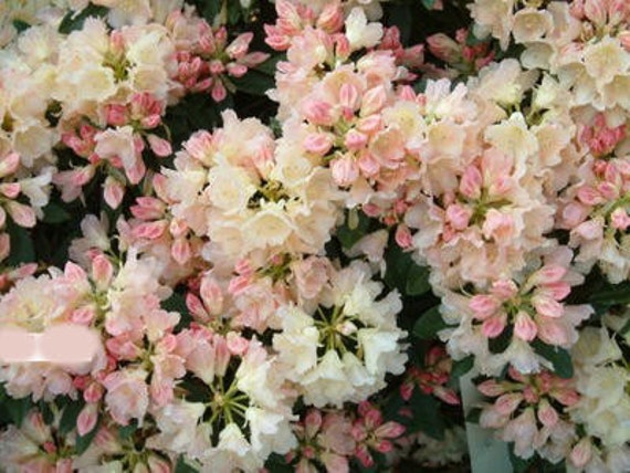rhododendron golden torch light yellow and pink bloom. Black Bedroom Furniture Sets. Home Design Ideas