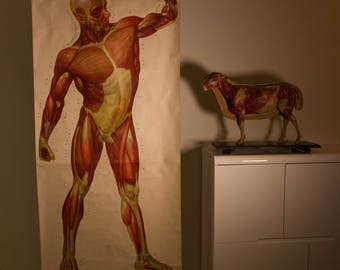 Vintage  Pull Down anatomical Chart  XXL  Human Muscles front  School Chart