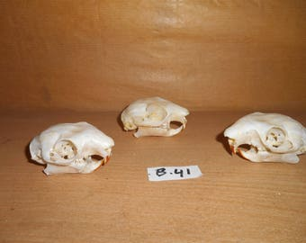 Taxidermy Flying Squirrel Skull 3 Pcs