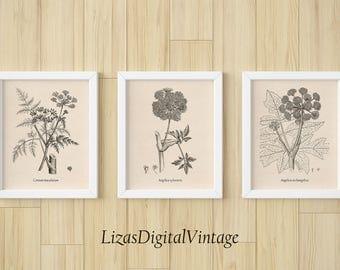 Instant download botanical print set, Set of 3 prints, Floral wall art, Vintage botanical print, Home wall decor, Garden Angelica, Hemlock