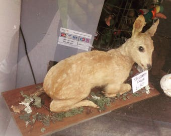 Taxidermy fawn cute deer bambi antique 1950s