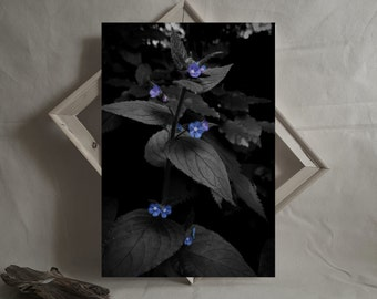 Black, White and Blue Botanical Fine Art Photography Print. Exclusive, signed Forget me not Flower Photograph Wall Art by Drexll Studios