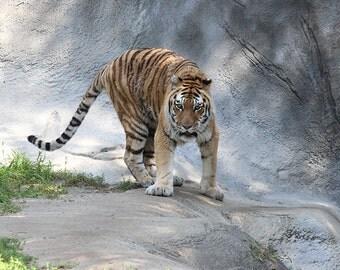 Photography, Tiger, 11x14 Framed