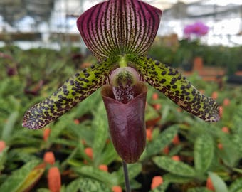 Paphiopedilum 'Pisgah Raisin', live Lady Slipper Orchid, potted