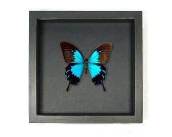 Beautiful butterfly in frame--Papilio Ulysses Ulysses-- vlinder in zwarte lijst