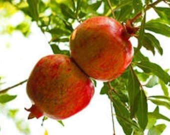 Pomegranate Fruit Tree Punica Granatum Granada Seedlings Starting LIVE PLANT