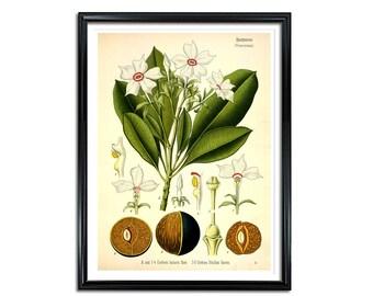 Cerbera Odollam Gaertn Botanical Print, medical plant print, medical botanicals, vintage flower print